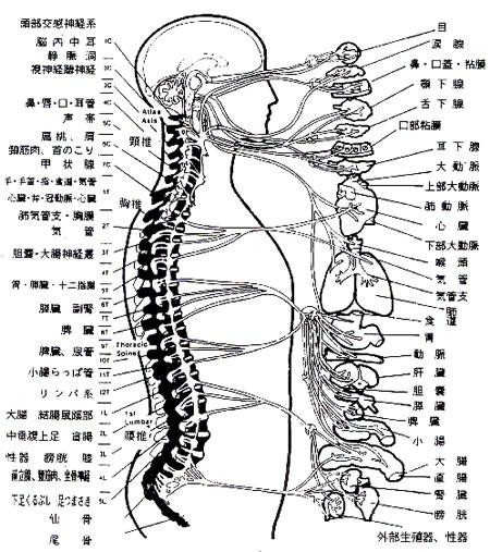 脊髄神経の作用